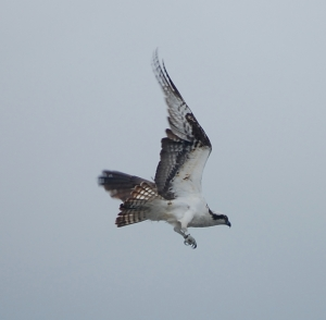 A Real Seahawk